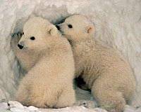 Polar bear families like these need your help