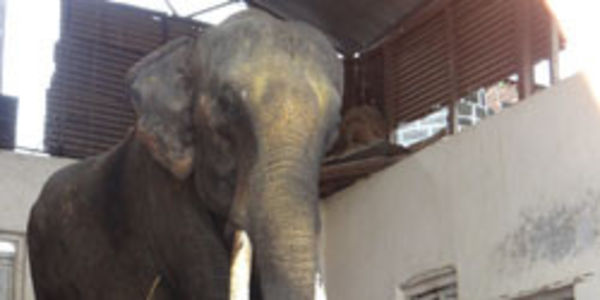 RETIRE RAM PRASAD THE ELEPHANT CHAINED CAPTIVE FOR 30 YEARS