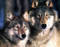 Stop the Slaughter of 3000 Wolves in Siberia