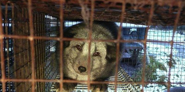 Demand an end to fur farming in Finland/Vaadi Suomea kieltämään turkistarhaus