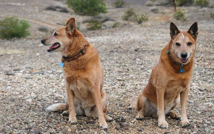 Panga and Dingo, Arizona
