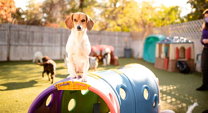 dog playing on play structure at Dingos dogsitting
