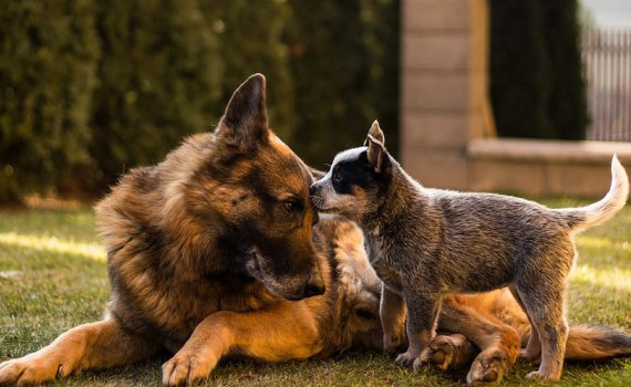 dog genetics and behavior