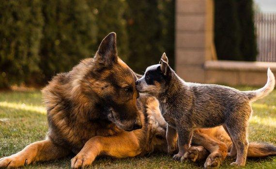 dog genetics and behavior