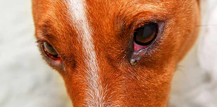 canine conjunctivitis in a dog's eye