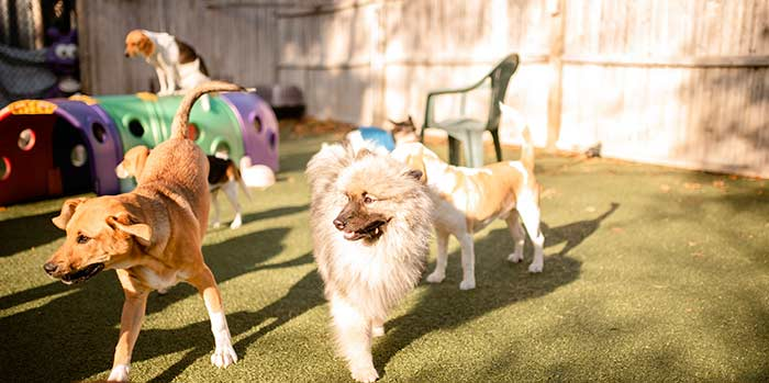 group of dogs playing at dingos dogsitting in beverly ma
