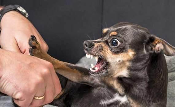 small dog baring its teeth at a human hand