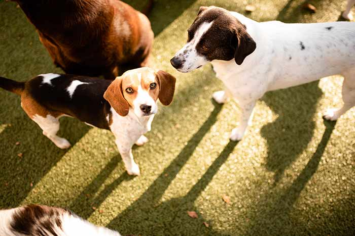 beagle standing with a group of dogs in play yard