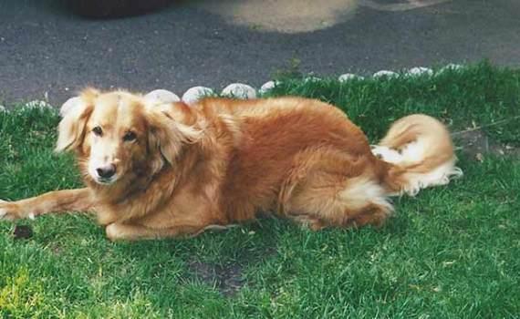 happy golden retriever lying down on grass