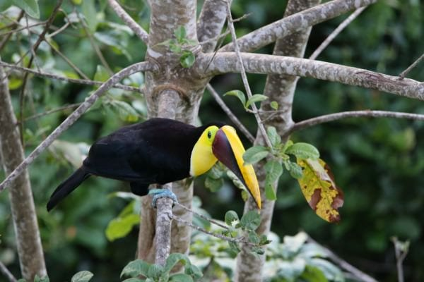 Toucan in Manuel Antonio