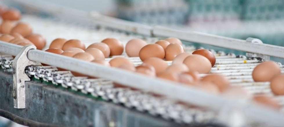 eggs on a conveyer belt