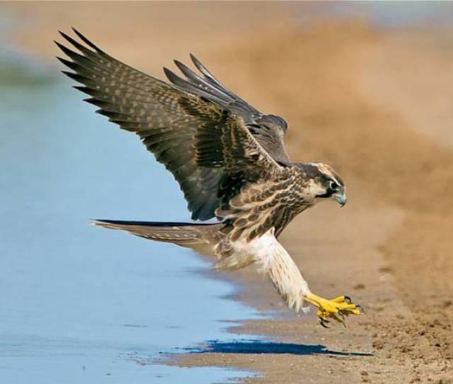 Peregrine Falcon Falco Peregrinus The Fastest Animal In The World