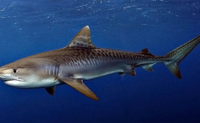 Tiger Shark One Of The Most Dangerous Sharks