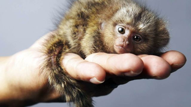 pygmy marmoset pet