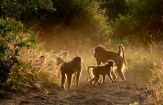 Babuinos - Africa