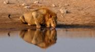 León en aguada - Etosha - Namibia