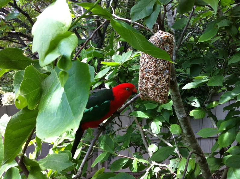 A King Parrot enjoying a seed bell by our gazebo