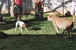cheetah-park-nambia-97
