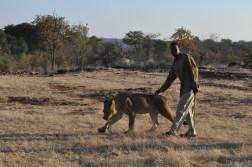 zimbabwe-lion-walk-031