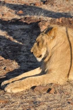 zimbabwe-lion-walk-062