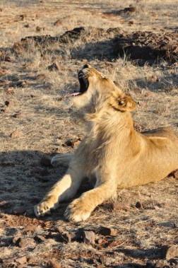 zimbabwe-lion-walk-079