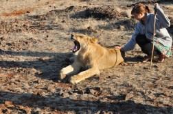 zimbabwe-lion-walk-090