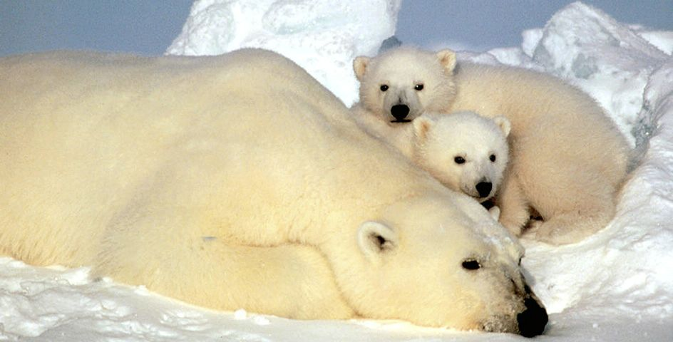 Polar bears spend much of the year on sea ice.