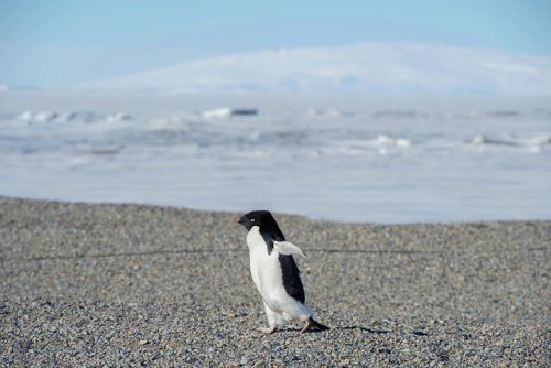 An Adélie penguin waddles toward U.S. Secretary of State John Kerry and his traveling party in Antarctica on November 11, 2016, as the Secretary conducted a helicopter tour of U.S. research facilities around Ross Island and the Ross Sea, and visited the McMurdo Station in an effort to learn about the effects of climate change on the Continent. [State Department Photo/ Public Domain]