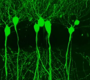 Neurons in mouse brain