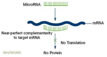 Diagram: microRNAs prevent mRNAs from being made into proteins