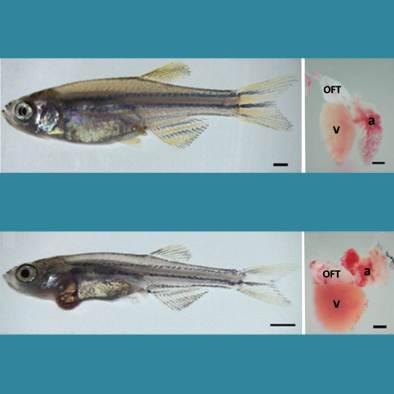 Healthy and mutated zebrafish