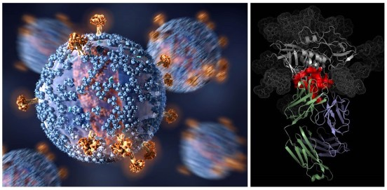 Virus and antibody bound to virus