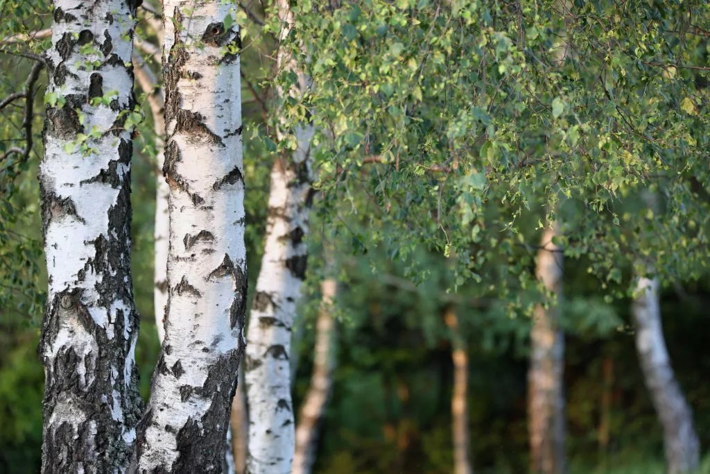 Silver Birch - Betula pendula | Directree