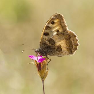 Berghexe Schmetterling
