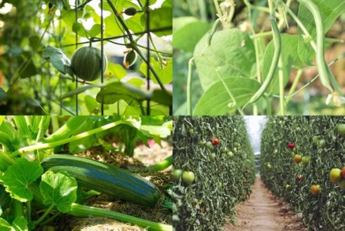 Top 6 Creepers and Vining Vegetables To Grow in Your Garden
