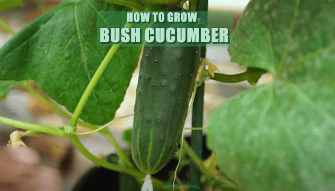 Easy Steps On How To Grow Bush Cucumber In a Container (Guide)