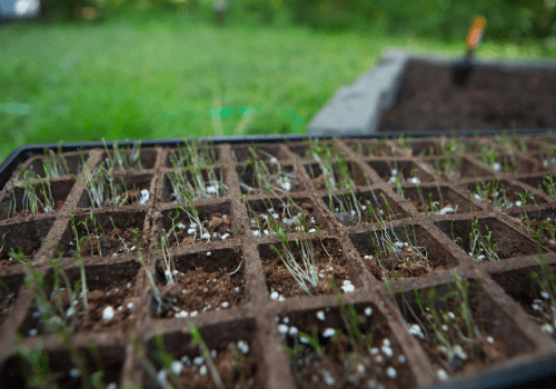 How Long Carrot Seeds Take To Germinate