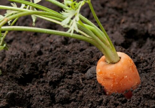 How Long Carrot Seeds Take To Germinate? (Guide)