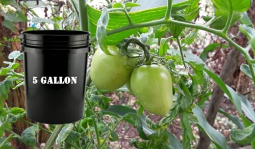 What Is The Ideal Size Container To Grow Tomato Plants Outside?