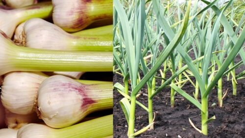 How Long Does it Take Garlic to Germinate For The Seed?