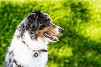 Seattle pet photography by Dirtie Dog Photography. Copyright Marika Moffitt 2018 All Rights Reserved.