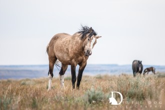 Wild horses of Steens Mountain Wilderness. www.dirtiedogphotography.com