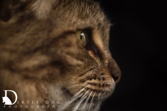 Another cat with amazing coat details. Seattle pet photography. www.dirtiedogphotography.com