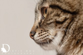 I never tire of detail shots especially when a cat's coat pattern is so beautiful. Seattle pet photography. www.dirtiedogphotography.com