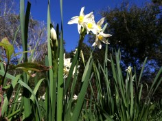 Nothing says happy like daffodils.