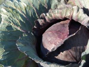 Cabbage Bud