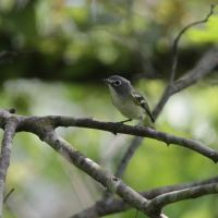 Wishing and Hoping: Blue-headed Vireo (Sound!)