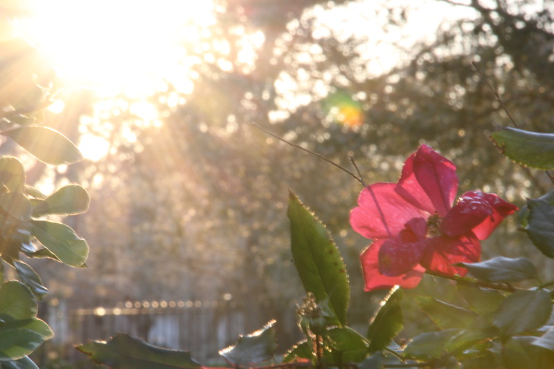 Hardi Rose