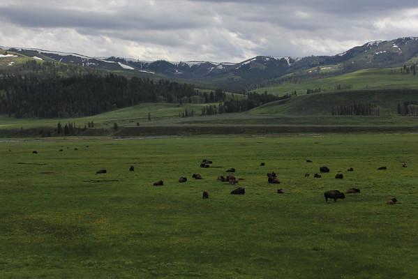 Grazing Bison Herd