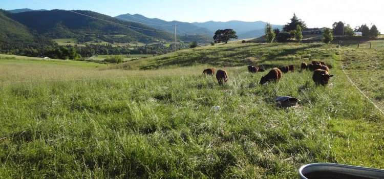 Mob grazing improves forage production and soil health.